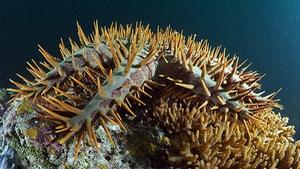 Báo động sao biển gai 'tận diệt' san hô