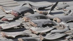 Vì sao Bộ Công thương đề nghị báo cáo vụ vây cá mập
