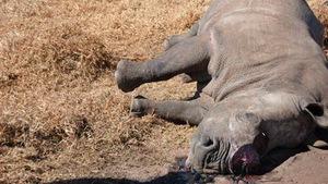 Giá bán sừng tê giác tương đương ma túy!