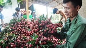 Xuất 520 tấn vải thiều Lục Ngạn đi Malaysia