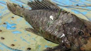 Đã bắt được cá quái vật đầu rùa vảy hóa thạch