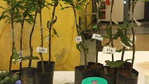Thanh Hóa dừng xây dựng đề án phát triển cây mắc ca