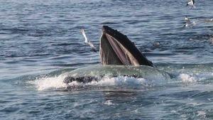 Đại Tây Dương vẫn chưa được chấp thuận là vùng bảo tồn cá voi