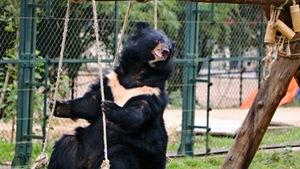 Lần đầu tiên phẫu thuật chữa dị tật miệng cho gấu ở Việt Nam
