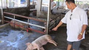 Heo chết bất thường ở Nha Trangdo bệnh tả