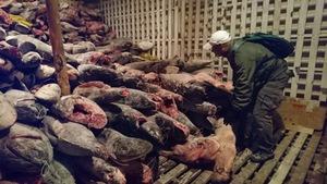 Bắt giữ tàu Trung Quốc chở đầy cá mập