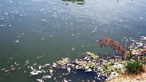 Cá chết trắng sông Phú Lộc tại Đà Nẵng