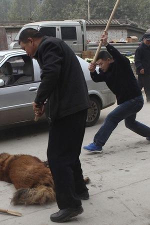 Kinh hoàng với bầy chó ngao Tây Tạng thả rông ở Trung Quốc