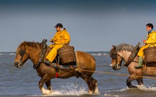 Độc đáo cách bắt tôm biển bằng... ngựa
