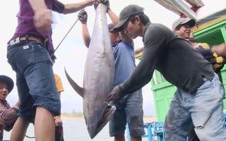 Ngư dân Phú Yên trúng đậm cá ngừ đại dương chuyến đi biển đầu năm