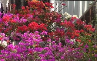 Nông dân Cần Thơ lai ghép thành công những cây hoa giấy 5-6 màu