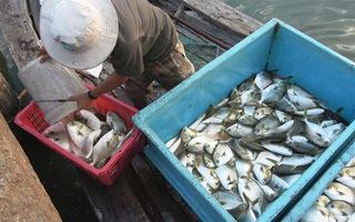 """Cá bè Long Sơn nhộn nhịp """"xuất chuồng"""" phục vụ Tết"""