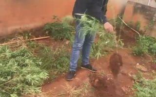 Đà Lạt: Thu giữ 19 cây cần sa trồng trong vườn nhà người dân