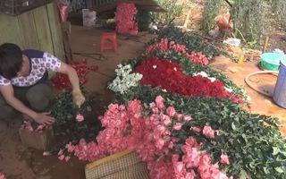 Cận ngày Phụ nữ Việt Nam, giá hoa hồng Đà Lạt tăng cao