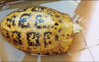 Người dân Bình Dương bắt được rùa vàng lạ mắt trên sông Đồng Nai