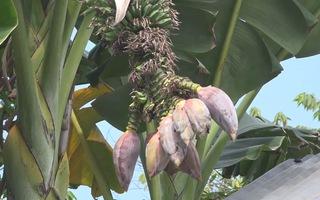 Kì lạ cây chuối đang cho trái lại trổ thêm 12 bắp