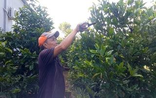 15.000 cây mai vàng sẵn sàng du xuân Canh Tý 2020