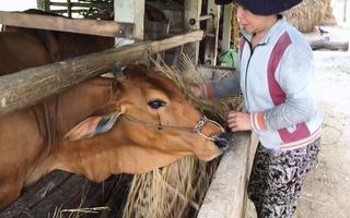 Cảnh giác thủ đoạn bắt trộm bò vùng nông thôn