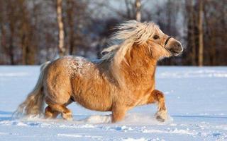 Shetland - Loài ngựa lùn đáng yêu nhất thế giới