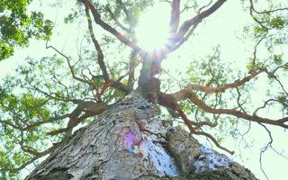 Độc đáo cây sao cổ thụ 700 năm tuổi