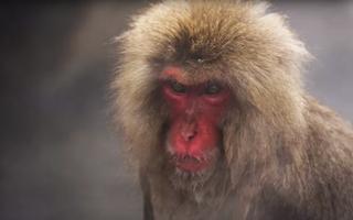 Cách vượt qua mùa đông khắc nghiệt của khỉ tuyết Nhật Bản