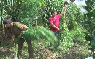 Trồng cây cần sa là vi phạm pháp luật