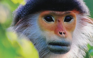 Ngắm voọc, khỉ, chim 'báu vật' Sơn Trà