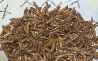 Quán ăn côn trùng đầu tiên ở Nam Phi