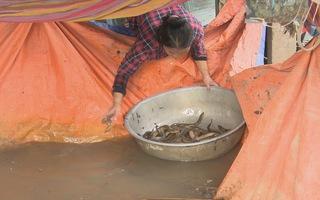 Lũ không về, người dân chuyển đổi sinh kế bằng nghề nuôi lươn