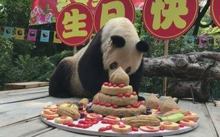 Bữa tiệc sinh nhật của gấu trúc lớn tuổi nhất thế giới