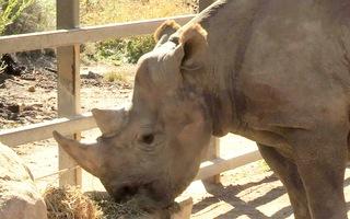 Công tác bảo vệ tê giác ở Úc thú vị như thế nào?