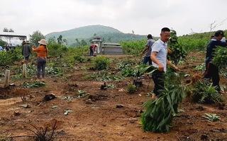 Hàng nghìn cây keo bị nhổ trơ gốc, chính quyền xã nói do sai sót