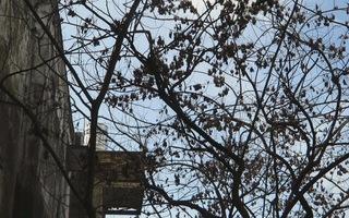 3 cây sưa đỏ nghi bị đầu độc, chưa tìm ra thủ phạm