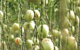 Độc đáo vườn dưa Pepino sai trĩu quả tại Đà Lạt