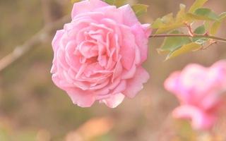 Khu vườn hoa hồng đẹp như cổ tích trên xứ sở ngàn hoa