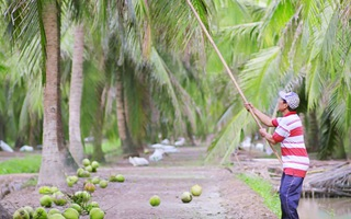 Nâng cao chuỗi giá trị kinh tế cho cây dừa Bến Tre