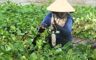 Thu nhập kh&225; từ tận dụng mặt nước trồng rau muống