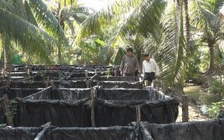 Thu nhập tiền tỷ từ mô hình nuôi lươn giống dưới tán dừa