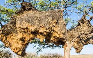 Video: Ngắm nhìn chiếc tổ kì dị nặng hơn 1 tấn của chim thợ dệt