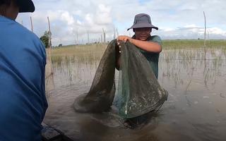 Video: Đổ dớn bắt cá mùa nước nổi ở Đồng Tháp