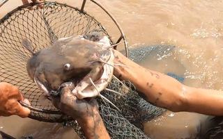Video: Đạp hang bắt cá ngát bằng tay không trên sông Cửa Tiểu