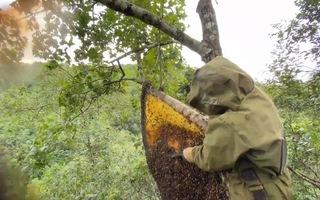 Video: Săn ong trên ngọn cây ở rừng Ngân Sơn, Bắc Kạn