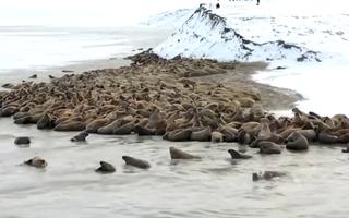 Video: Gần 3.000 con hải mã tụ tập trên bãi biển