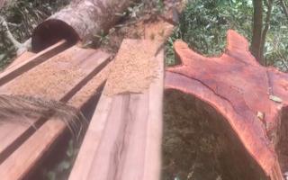 Video: Lâm tặc cắt ngọt nhiều cây gỗ rừng đường kính đến vài người ôm
