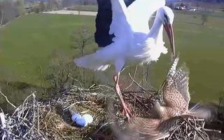 Video: Cò mẹ 'canh me' bắt chim cắt kestrel tấn công tổ trứng của mình