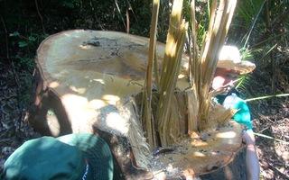 Video: Bạch tùng cổ thụ bị đốn hạ lại phát hiện gỗ nằm ở nhà tổ trưởng bảo vệ rừng