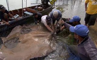 Video: Đỡ đẻ cho cá đuối gai khổng lồ, sinh 4 con ngay trong lưới