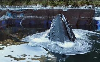 Video: Cá voi xanh khổng lồ 'ăn trộm' bè cá hồi trị giá 13 triệu đô la