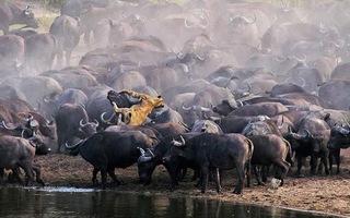 Video: Sư tử bị húc chết trong vòng vây của hơn 100 con trâu rừng