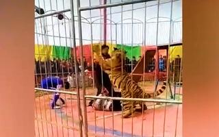 Video: 'Nghẹt thở' phút giải cứu người huấn luyện bị hổ vồ trong rạp xiếc